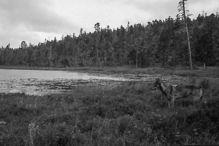 湖岸に立つオオカミ